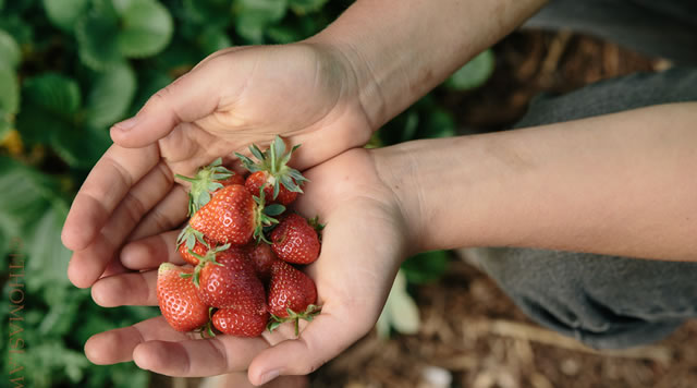 photo of hands holding freshly picked strawberries
